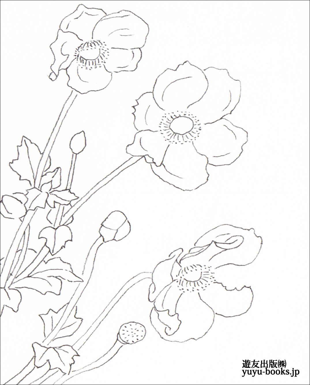 シュウメイギクの画像 p1_38